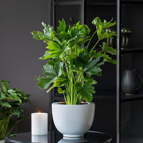 3 Philodendron Selloum
